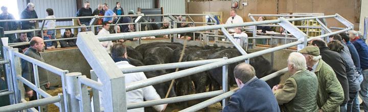 Tallant bullocks top Islay kilo stakes
