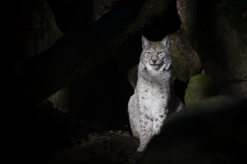 Change of venue for lynx reintroduction drop-in