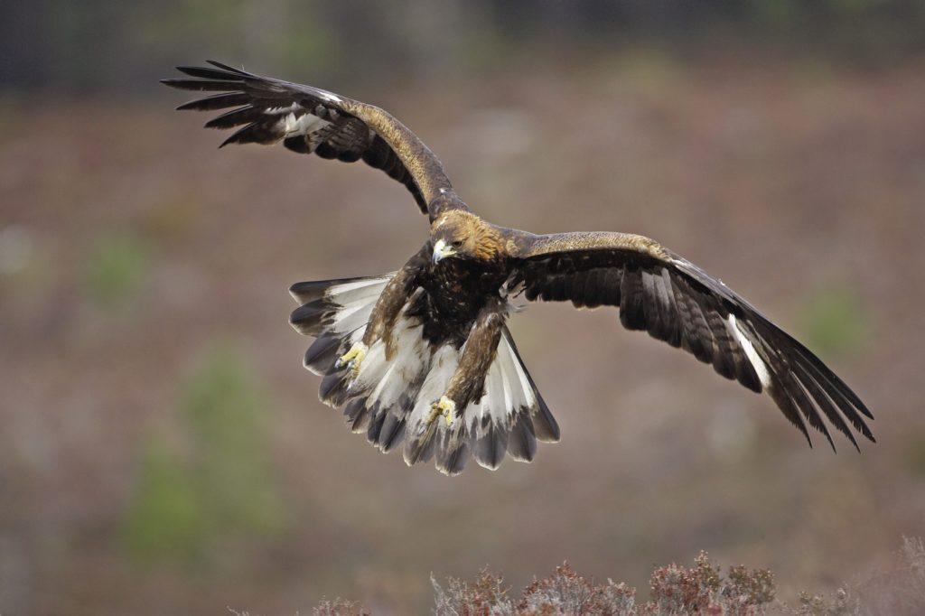 Kilninver golden eagle death prompts union warning