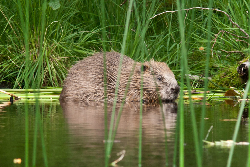 Hear the latest news about the Knapdale beavers